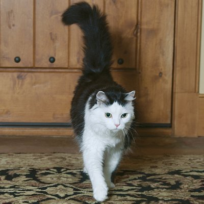 black brown and white tabby cat